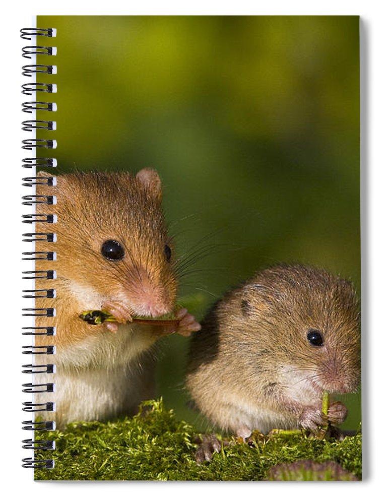 Harvest Mice Eating Grasshopper Spiral Notebook