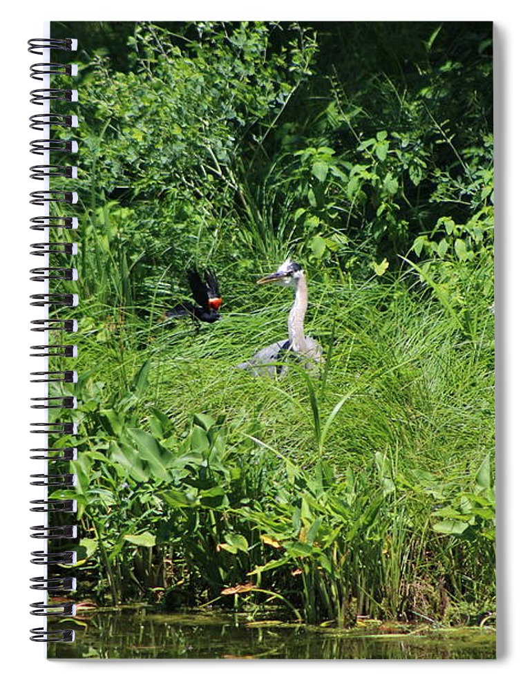 Marsh Spiral Notebook featuring the photograph Annoyed - Heron and Red Winged Blackbird 5 of 10 by Colleen Cornelius