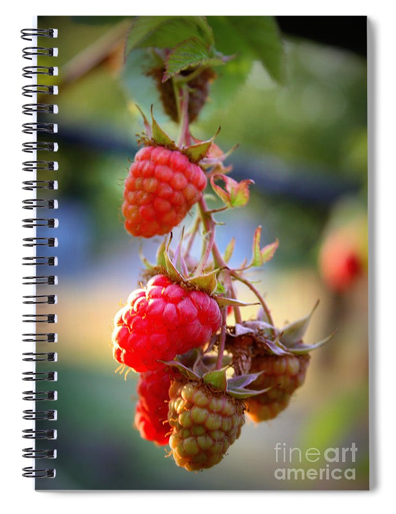 Food And Beverage Spiral Notebook featuring the photograph Backyard Garden Series - The Freshest Raspberries by Carol Groenen