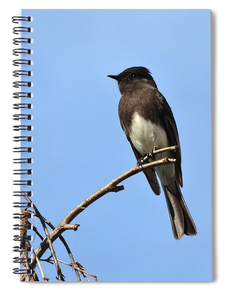 Phoebe Spiral Notebook featuring the photograph Black Phoebe 2 by David Hohmann