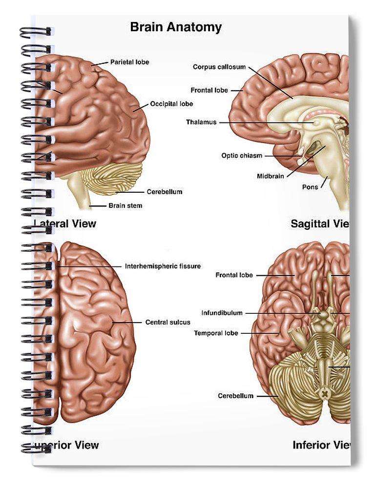 Brain Anatomy Illustration Spiral Notebook For Sale By Gwen Shockey