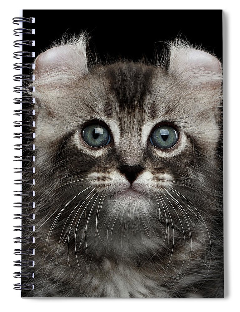 Curl Spiral Notebook featuring the photograph Cute American Curl Kitten with Twisted Ears Isolated Black Background by Sergey Taran