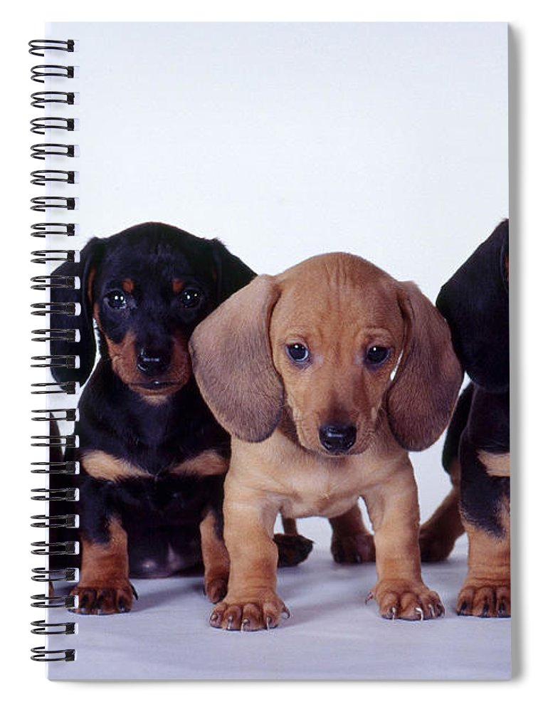Fauna Spiral Notebook featuring the photograph Dachshund Puppies by Carolyn McKeone and Photo Researchers