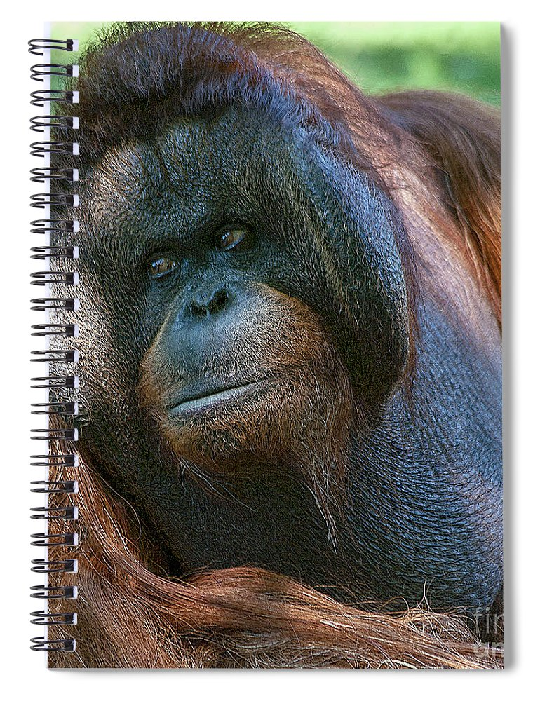 Orang Untang Spiral Notebook featuring the photograph Disapproving Glance by Heiko Koehrer-Wagner