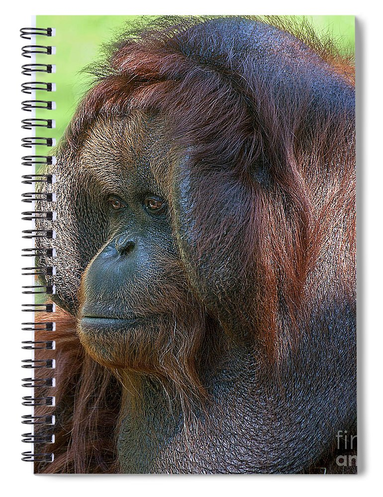 Orang Untang Spiral Notebook featuring the photograph Dopey Eyes by Heiko Koehrer-Wagner