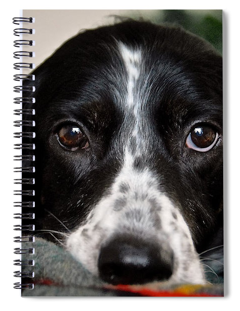 English Setter Spiral Notebook featuring the photograph English Setter Eyes by Zayne Diamond Photographic