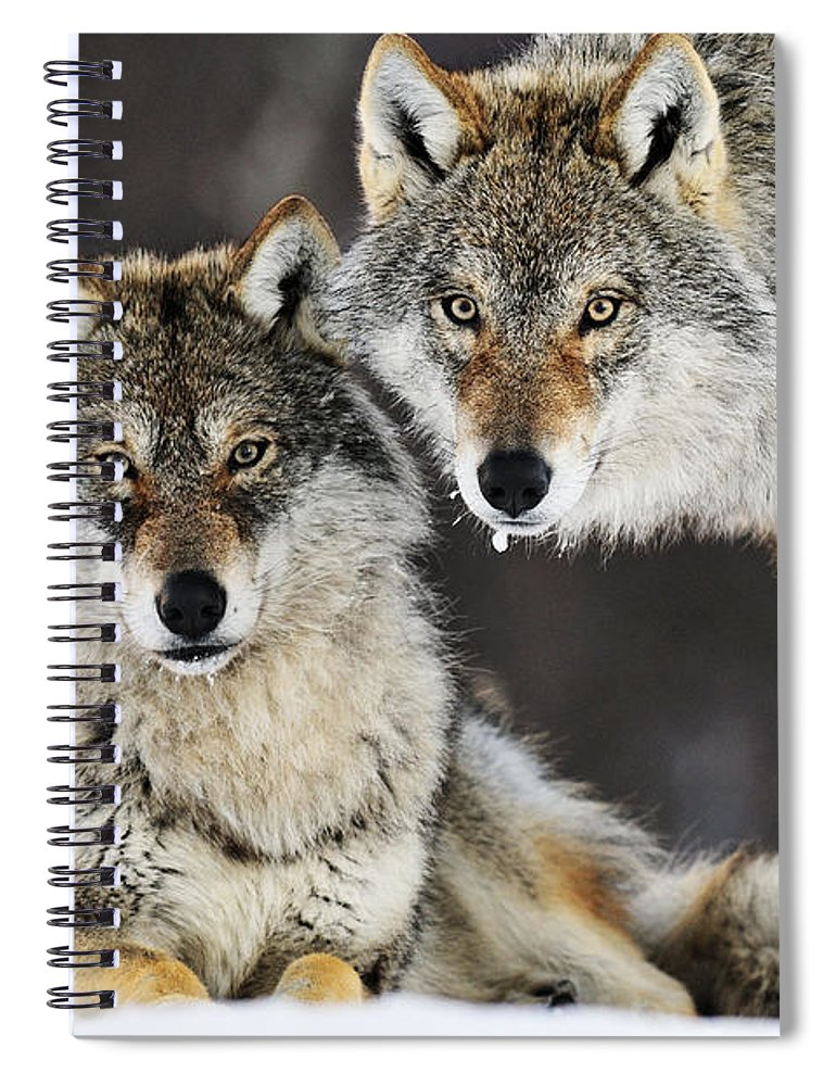 Mp Spiral Notebook featuring the photograph Gray Wolf Pair In The Snow by Jasper Doest