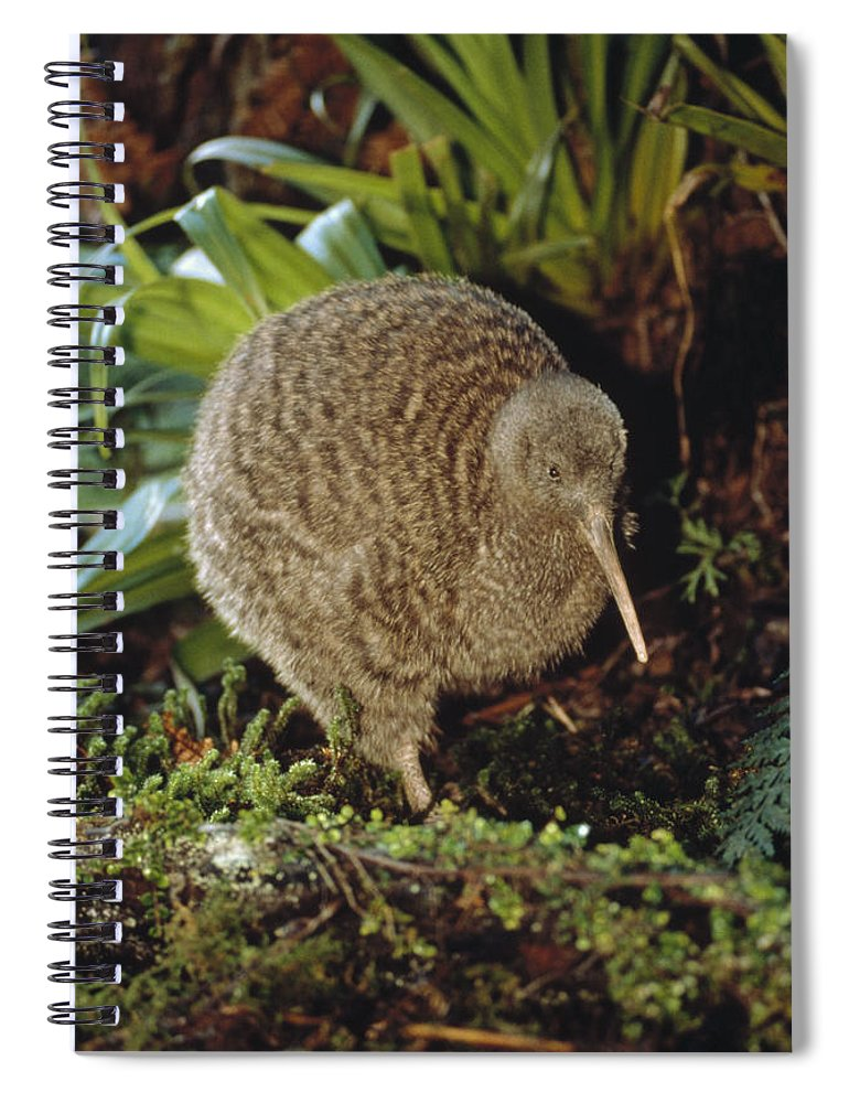 Mp Spiral Notebook featuring the photograph Great Spotted Kiwi Apteryx Haastii Male by Tui De Roy