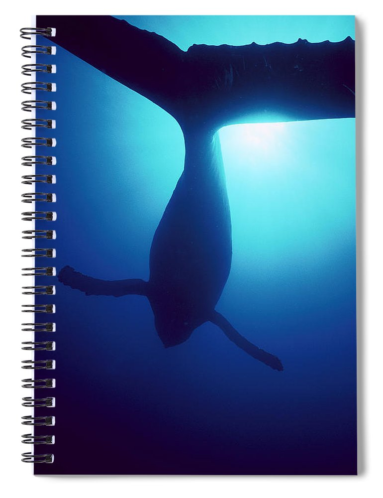 Mp Spiral Notebook featuring the photograph Humpback Whale Megaptera Novaeangliae by Flip Nicklin