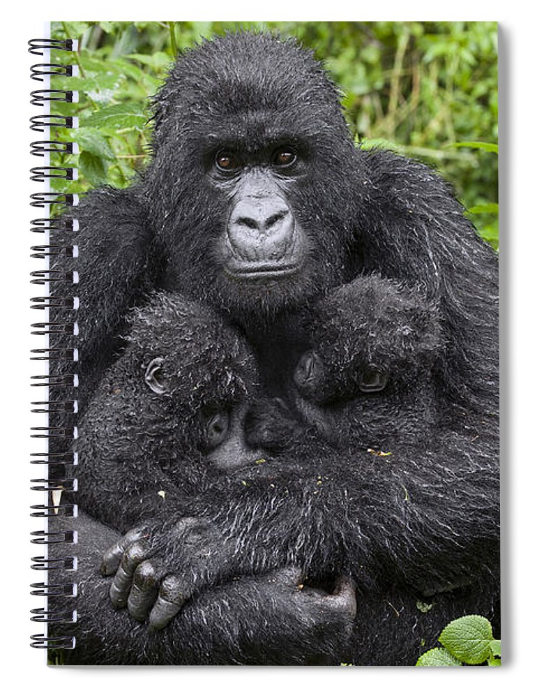00499668 Spiral Notebook featuring the photograph Mountain Gorilla Mother Holding 5 Month by Suzi Eszterhas