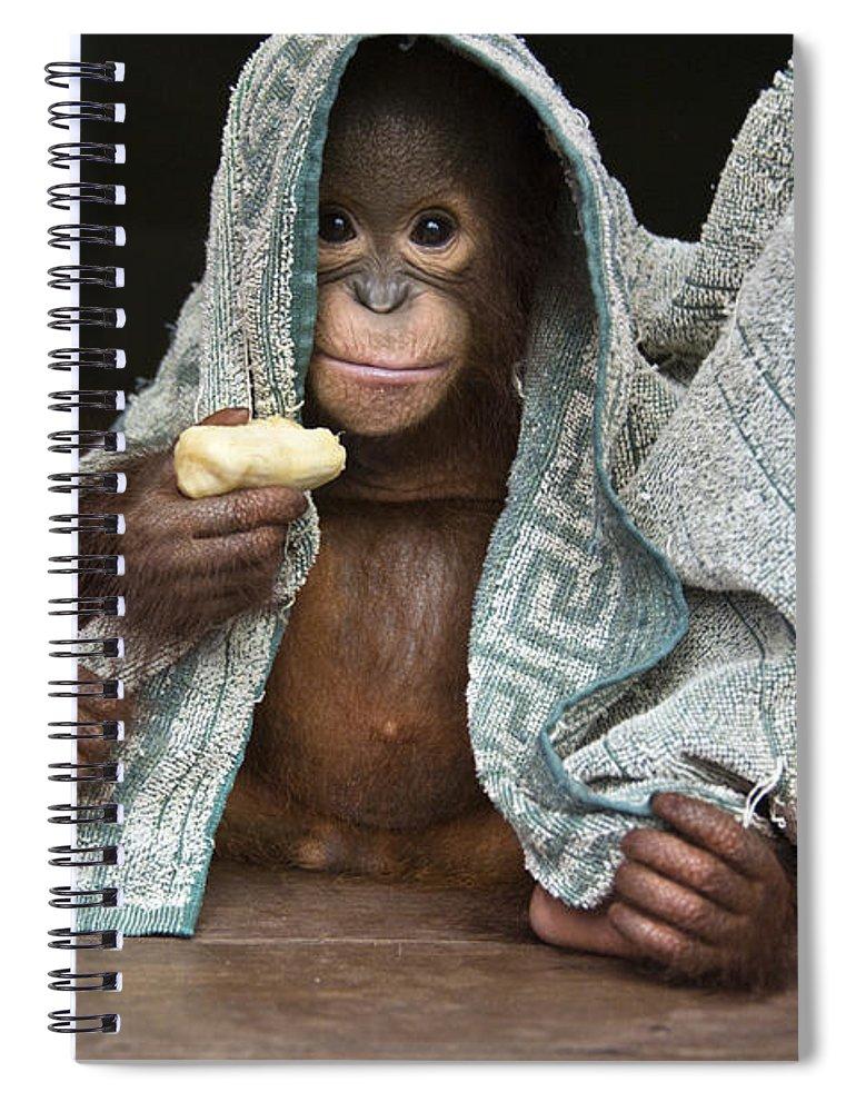 00486841 Spiral Notebook featuring the photograph Orangutan 2yr Old Infant Holding Banana by Suzi Eszterhas