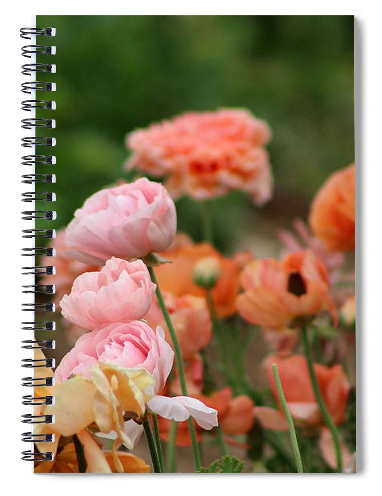 Powder Pink Ranunculus Spiral Notebook featuring the photograph Powder Pink and Salmon Ranunculus by Colleen Cornelius