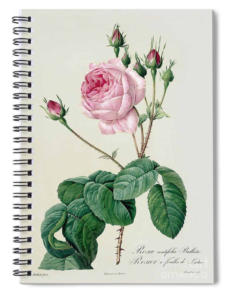 Rosa Spiral Notebook featuring the drawing Rosa Centifolia Bullata by Pierre Joseph Redoute