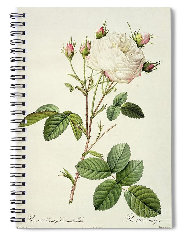 Rosa Spiral Notebook featuring the drawing Rosa Centifolia Mutabilis by Pierre Joseph Redoute