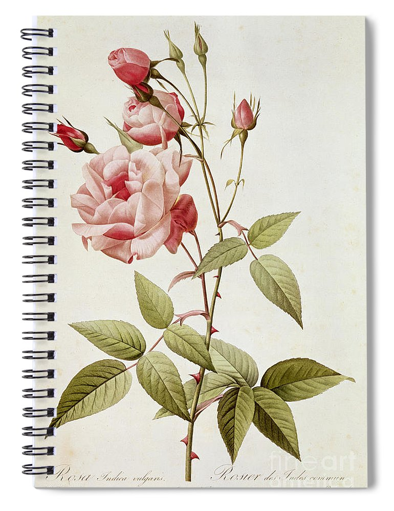 Rosa Spiral Notebook featuring the painting Rosa Indica Vulgaris by Pierre Joseph Redoute
