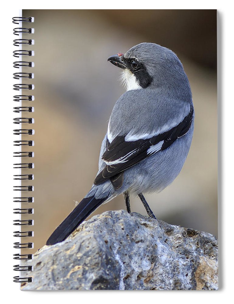 (lanius Meridionalis) Spiral Notebook featuring the photograph Southern Grey Shrike-- . by Chris Smith