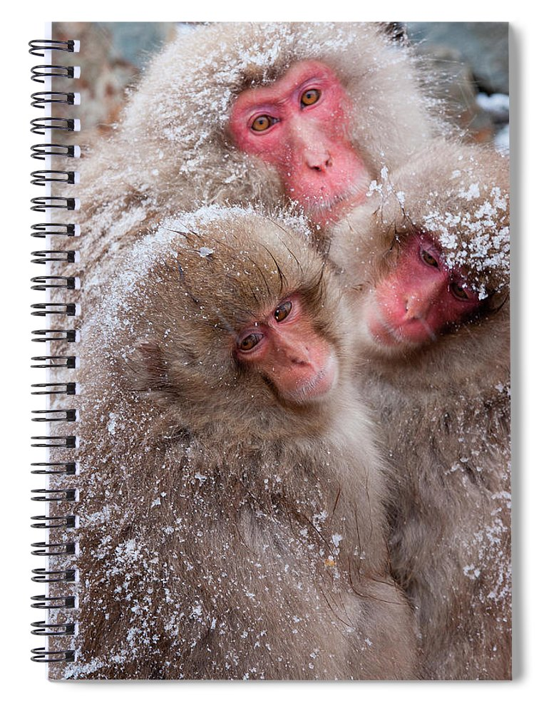Vertebrate Spiral Notebook featuring the photograph Japanese Macaques, Japanese Alps by Mint Images/ Art Wolfe