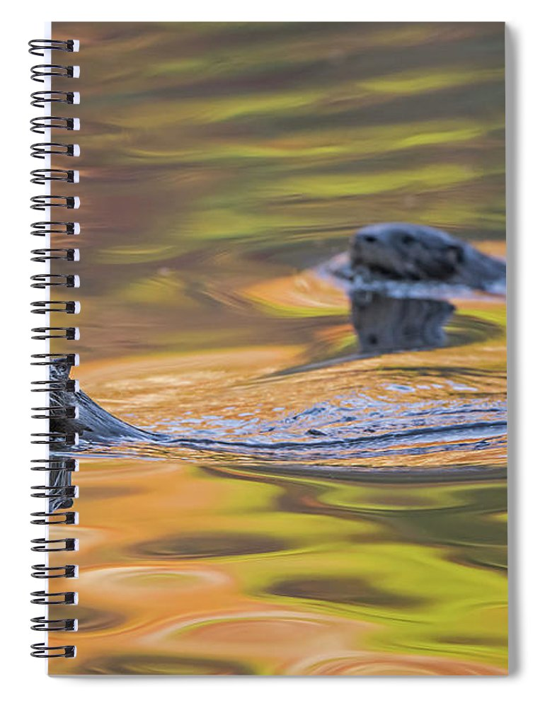 Ottercollection Spiral Notebook featuring the photograph North American River Otter Two Swimming, Maine, Usa by George Sanker / Naturepl.com