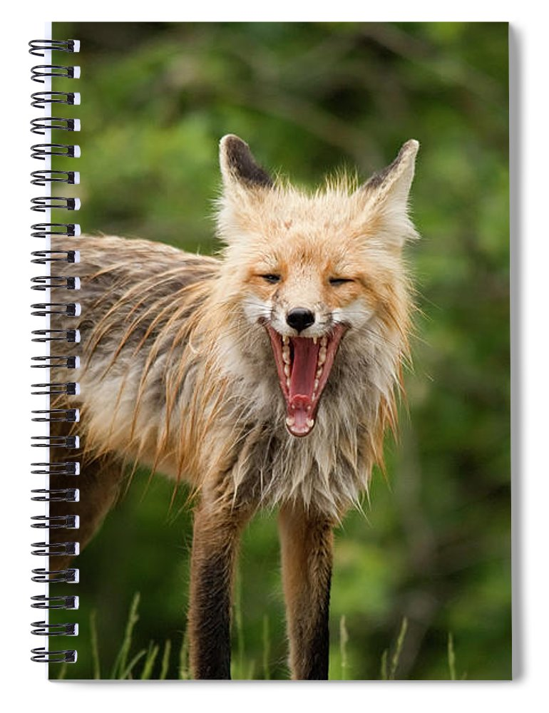 Snarling Spiral Notebook featuring the photograph Red Fox Vulpes Vulpes In Prince Albert by Philippe Widling / Design Pics