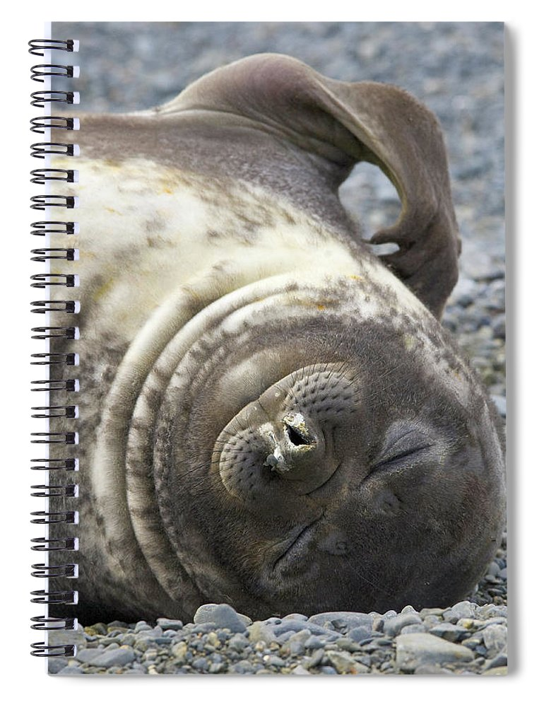 South Georgia Island Spiral Notebook featuring the photograph Southern Elephant Seal Weaner Pup by Eastcott Momatiuk