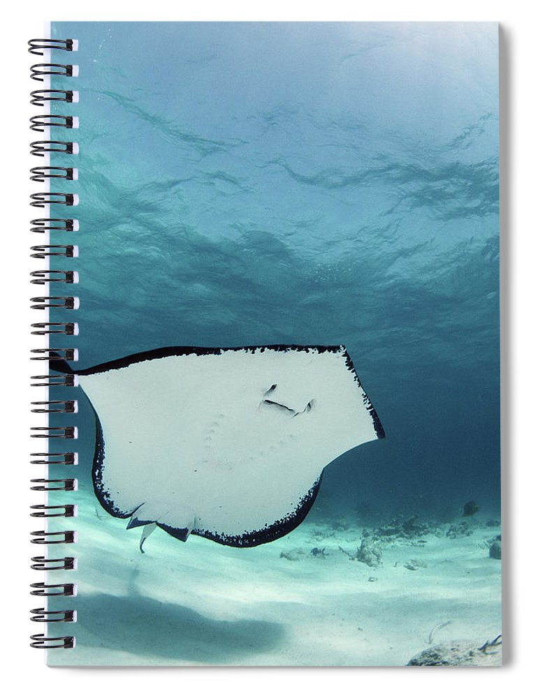 Underwater Spiral Notebook featuring the photograph Southern Stingray Dasyatis Americana by Georgette Douwma