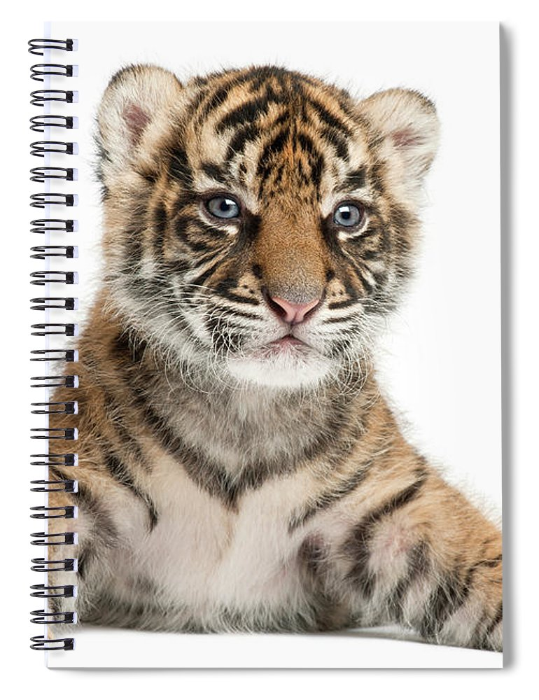 White Background Spiral Notebook featuring the photograph Sumatran Tiger Cub - Panthera Tigris by Life On White