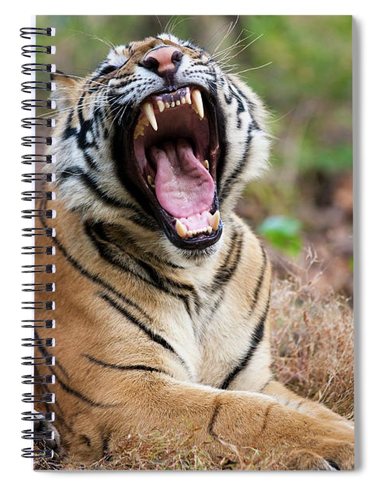 Snarling Spiral Notebook featuring the photograph An Adult Tiger In Bandhavgarh National by Mint Images - Art Wolfe