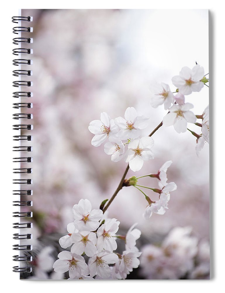 Celebration Spiral Notebook featuring the photograph Cherry Blossoms by Ooyoo