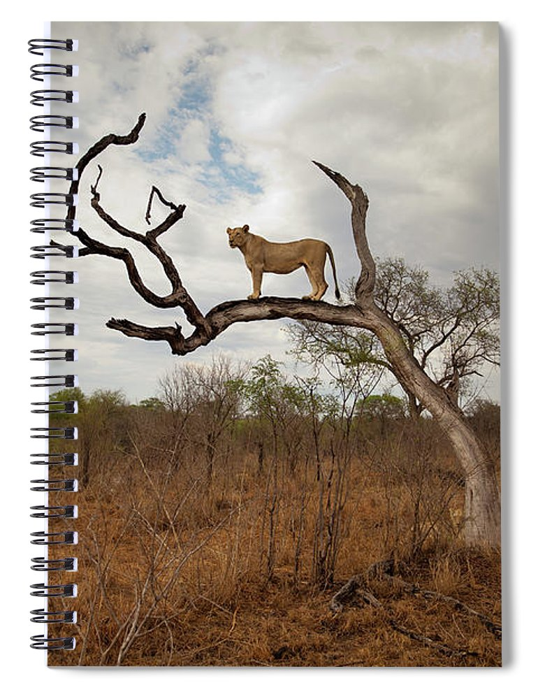 Scenics Spiral Notebook featuring the photograph A Female Lion Standing On Bare Branch by Sean Russell