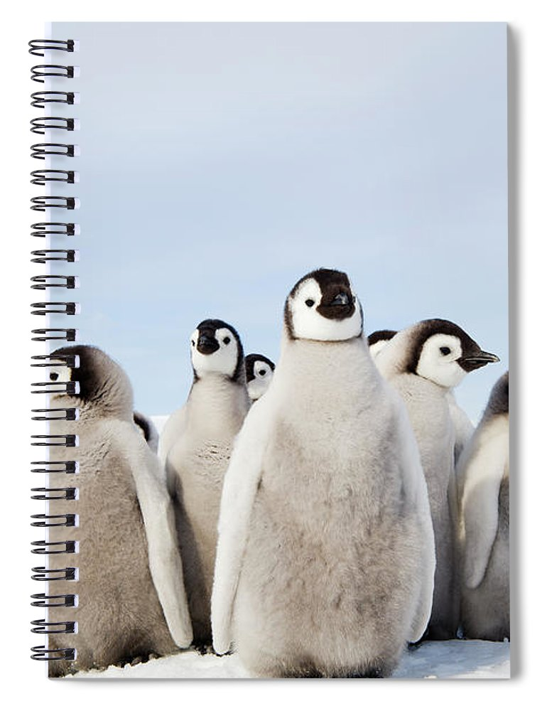 Emperor Penguin Spiral Notebook featuring the photograph A Nursery Group Of Emperor Penguin by Mint Images - David Schultz