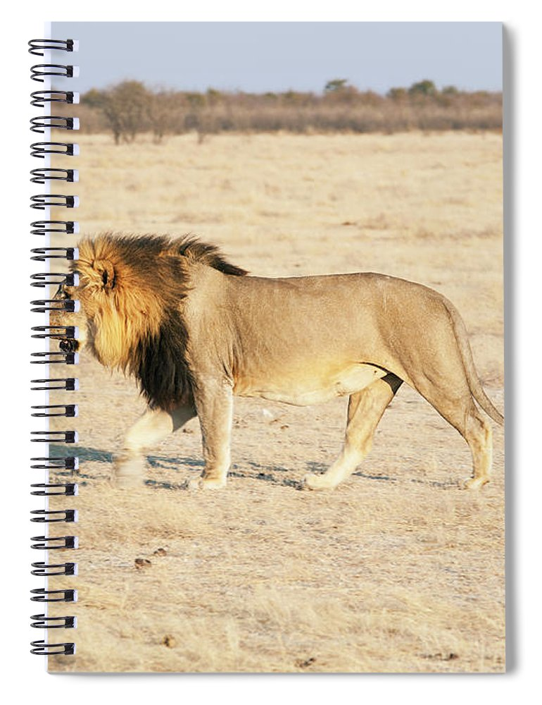 Animal Themes Spiral Notebook featuring the photograph African Lion On Savannah by Bjarte Rettedal