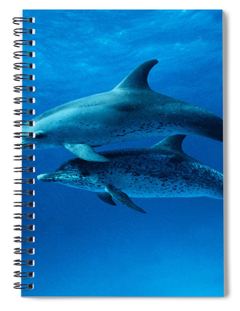 Color Image Spiral Notebook featuring the photograph Atlantic Spotted Dolphins,stenella by Gerard Soury