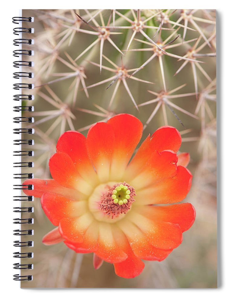 Orange Color Spiral Notebook featuring the photograph Beautiful Claret Cup Hedgehog Blossoms by Lokibaho