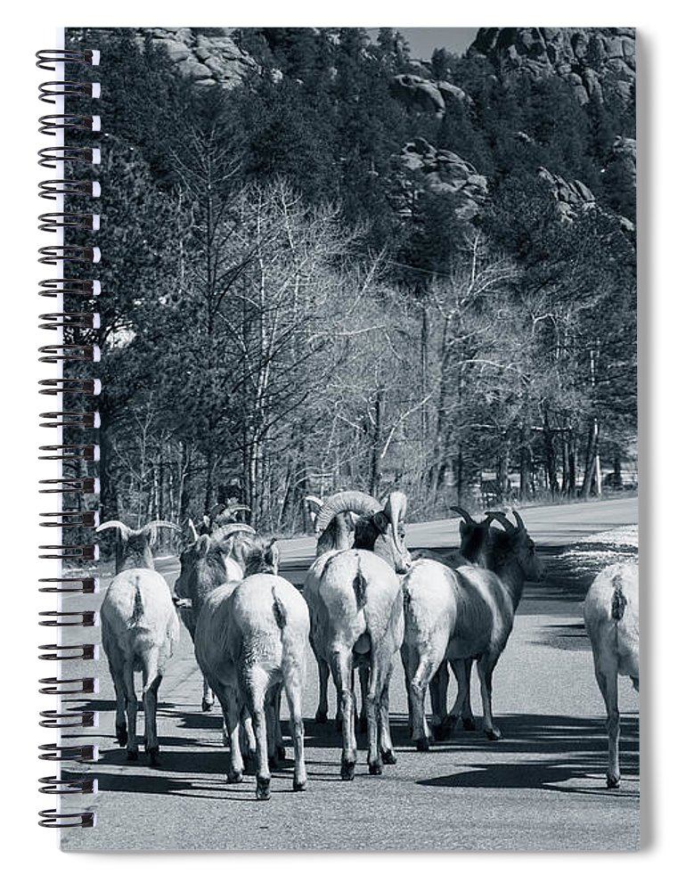 Domestic Animals Spiral Notebook featuring the photograph Bighorn Sheep Ovis Canadensis Walking by Clay Alchemist