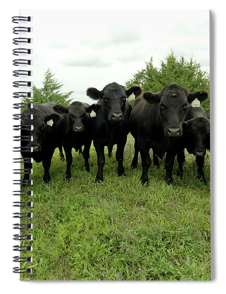 Grass Spiral Notebook featuring the photograph Black Angus Cows by Xpacifica