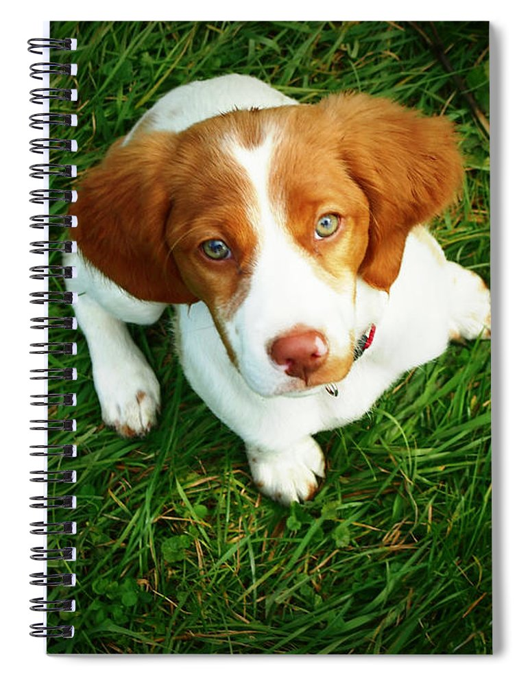Pets Spiral Notebook featuring the photograph Brittany Spaniel Puppy by Meredith Winn Photography