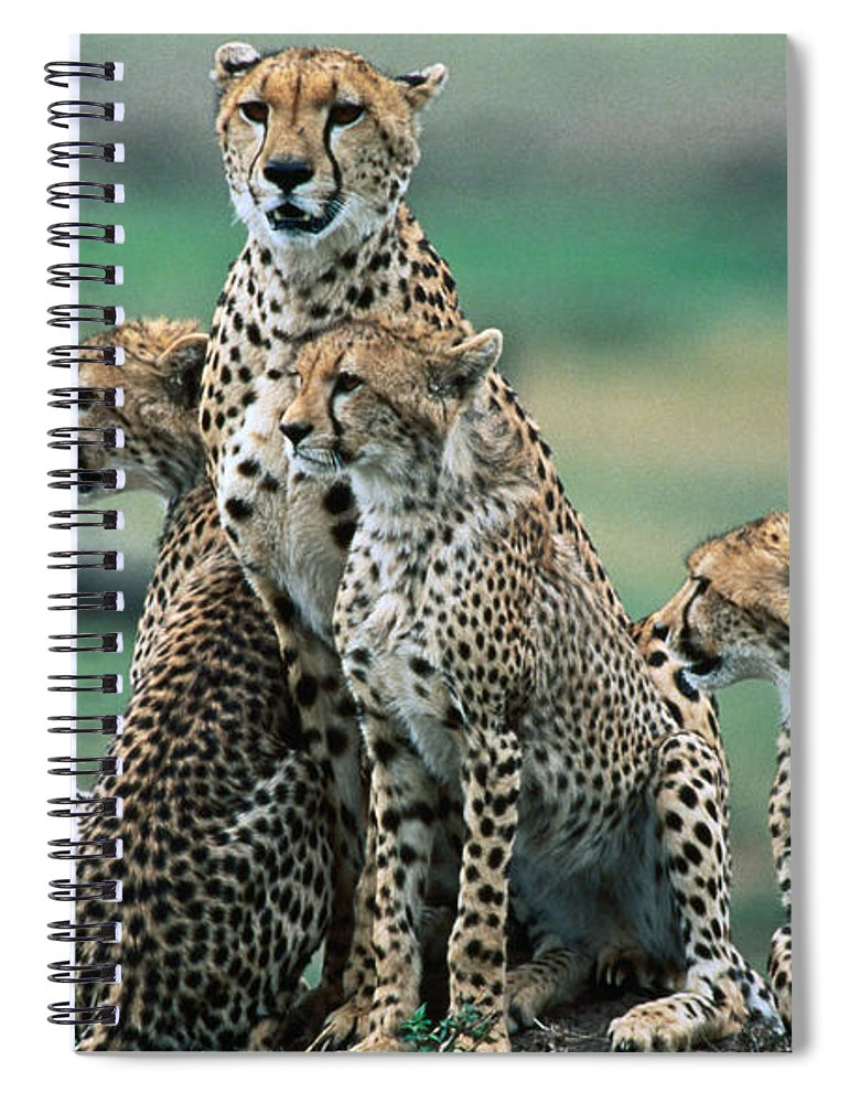 Kenya Spiral Notebook featuring the photograph Cheetahs Acinonyx Jubatus., Masai Mara by Mark Newman