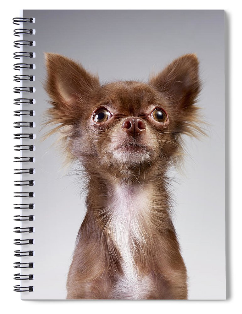 Pets Spiral Notebook featuring the photograph Chihuahua Looking Up by Stilllifephotographer