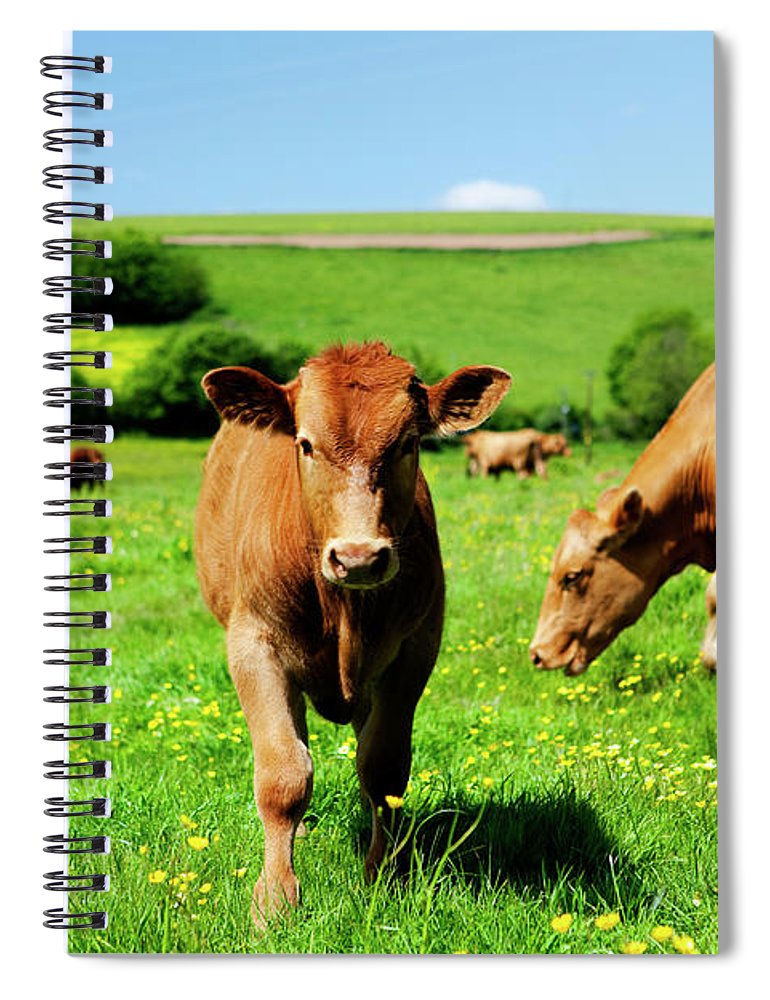 Domestic Animals Spiral Notebook featuring the photograph Cows And Buttercups by Lockiecurrie