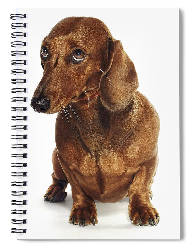 Pets Spiral Notebook featuring the photograph Dachshund Looking Up by Gandee Vasan