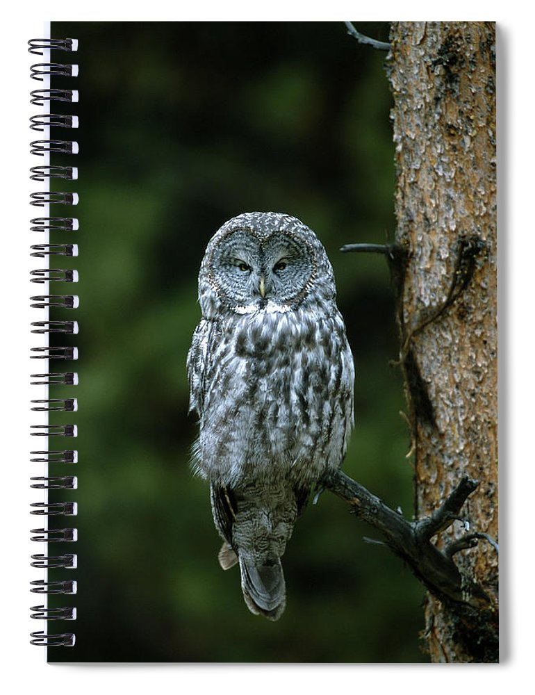 Great Gray Owl Spiral Notebook featuring the photograph Great Gray Owl Strix Nebulosa On Perch by Riccardo Savi