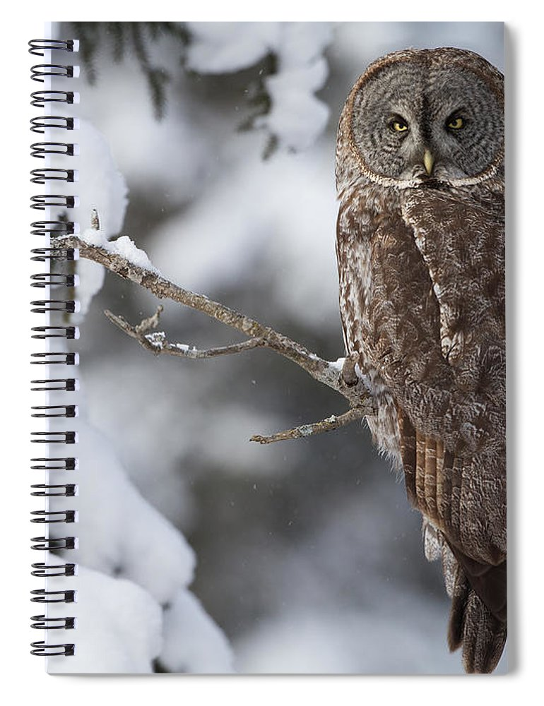 Snow Spiral Notebook featuring the photograph Great Grey Owl by Corey Hayes