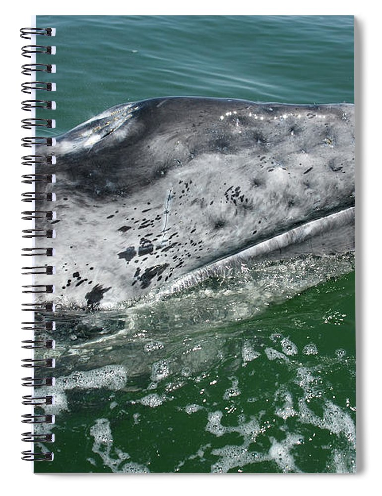 Latin America Spiral Notebook featuring the photograph Grey Whale Head by Serengeti130