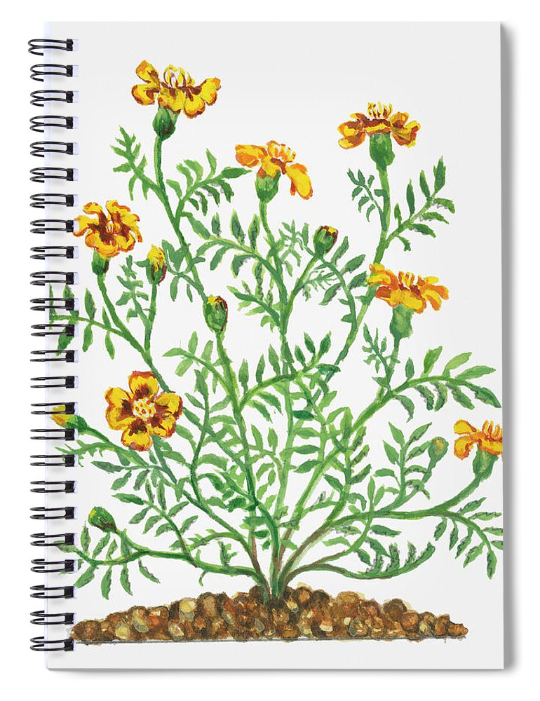 Long Spiral Notebook featuring the digital art Illustration Of Tagetes Patula French by Dorling Kindersley