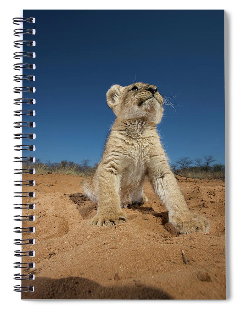 Big Cat Spiral Notebook featuring the photograph Lion Cub Panthera Leo Sitting On Sand by Heinrich Van Den Berg