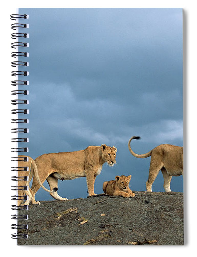 Kenya Spiral Notebook featuring the photograph Lionesses And Cubs Panthera Leo On by James Warwick