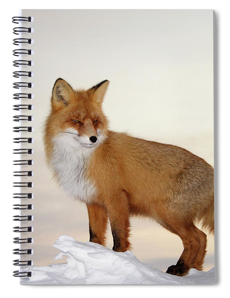 Black Color Spiral Notebook featuring the photograph Majestic Fox by Dmitrynd