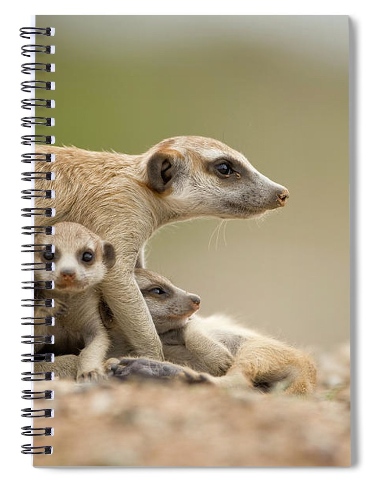 Care Spiral Notebook featuring the photograph Meerkat Pups With Adult, Namibia by Paul Souders