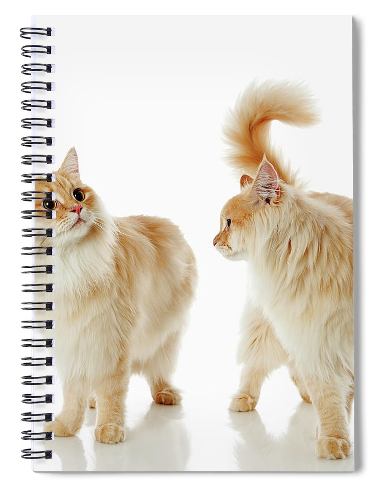 Humor Spiral Notebook featuring the photograph Munchkin Cats by Ultra.f