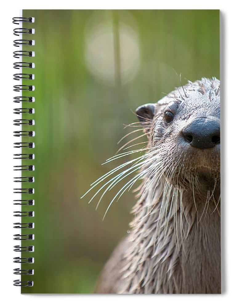 Ottercollection Spiral Notebook featuring the photograph North American River Otter Captive, Occurs In North America by Edwin Giesbers / Naturepl.com